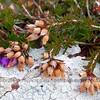 Heather and Lichens, Pembrokeshire