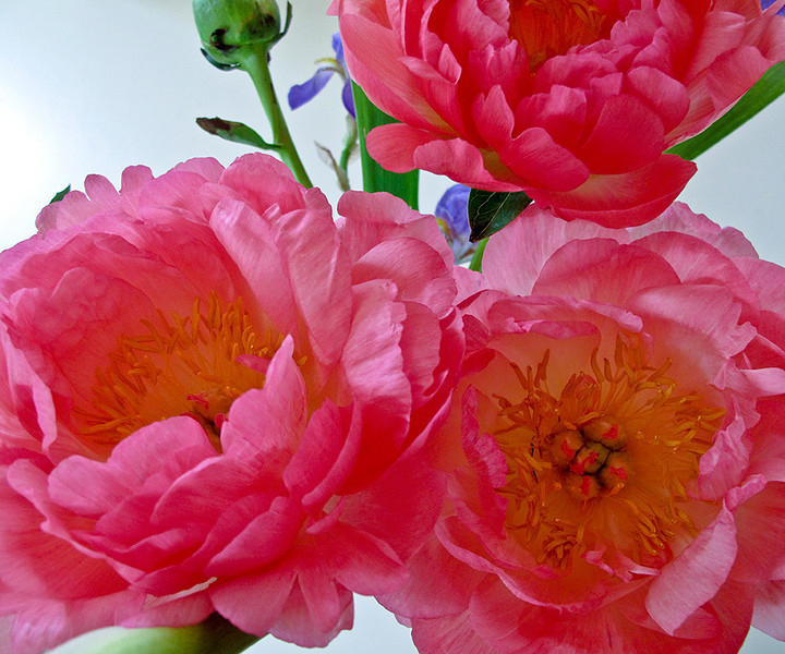 IMG_5337-1.5cr_1Rs i-web.jpg<br /> <br /> Peonies