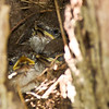 Carolina Wren hatchlings