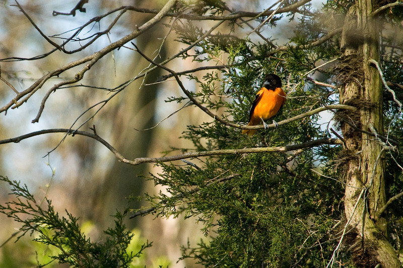 """Northern """"Baltimore"""" Oriole"""