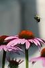 06-25-07-Garden, park, macro bee shots (41)-2