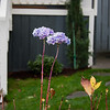 These two guys are the only flowers left standing now that winter has taken its toll on our front yard.