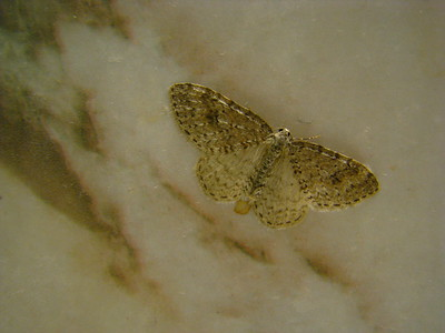 Camoflage  Spotted this moth in my bathroom one day - its coloring is a good match for the fake marble pattern of the counter. Perhaps it evolved in here.