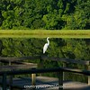 2014-08-13_GreatEgret_003