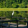 2014-08-13_GreatEgret_002