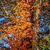 2020-11-07_Poison Ivy Up An Oak Tree