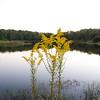 2007-10-19_CP_Goldenrod_0006