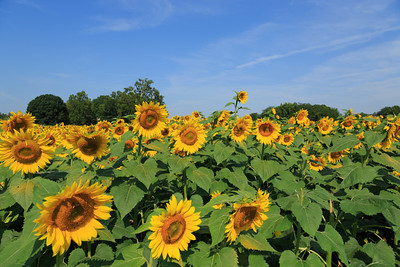 2013_08_24 Sunflowers 004