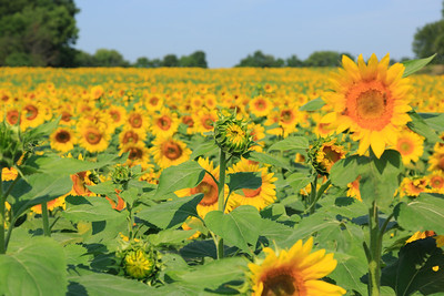 2013_08_24 Sunflowers 008