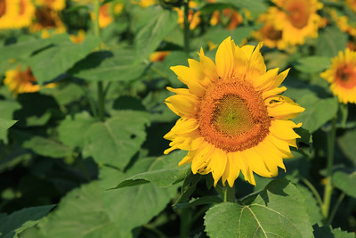 2013_08_24 Sunflowers 003