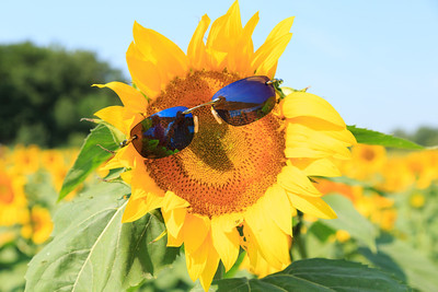 2013_08_24 Sunflowers 005