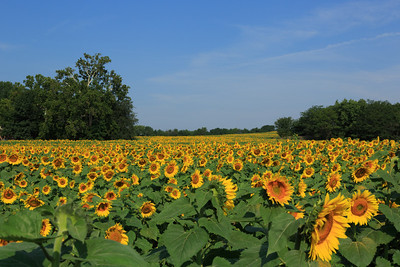 2013_08_24 Sunflowers 001