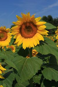 2013_08_24 Sunflowers 007