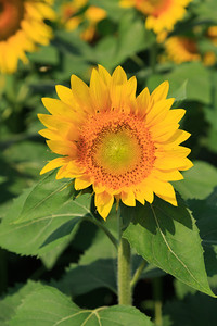 2013_08_24 Sunflowers 009