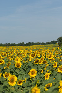 2013_08_24 Sunflowers 002