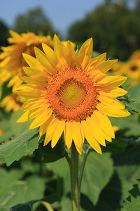 2013_08_24 Sunflowers 011