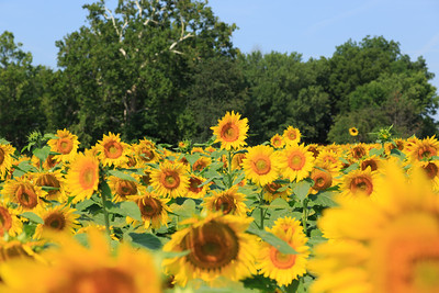 2013_08_24 Sunflowers 010