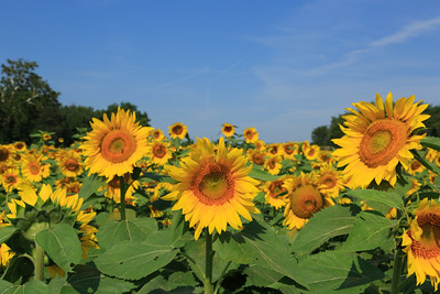 2013_08_24 Sunflowers 006