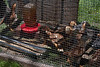 <center>Rhode Island Red Chicks  <br><br>Watson Farm<br>Jamestown, Rhode Island</center>