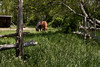 <center>A Pair of Horses  <br><br>Watson Farm<br>Jamestown, Rhode Island</center>