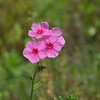 Wild phlox blooming April 14, 2012 along north Florida roadsides.