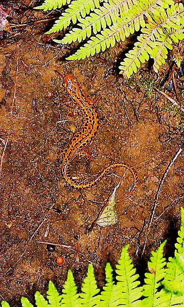 Lomg-tailed Salamander