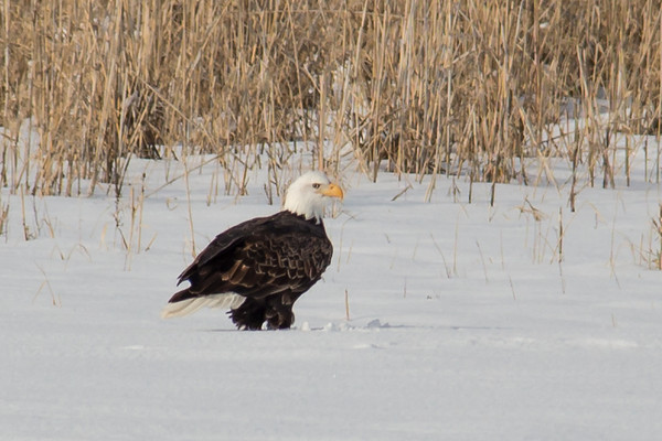 Bald Eagle - Farmington Bay
