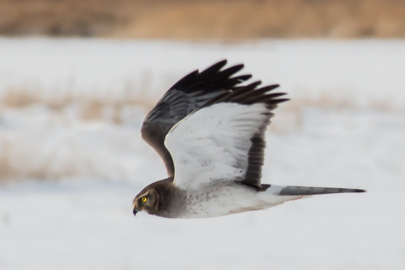 Male Northern Harrier - Farmington Bay