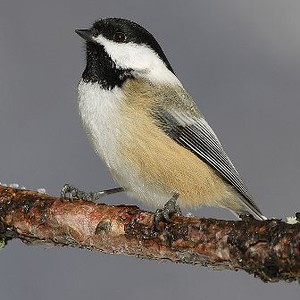 Black-capped Chicakadee