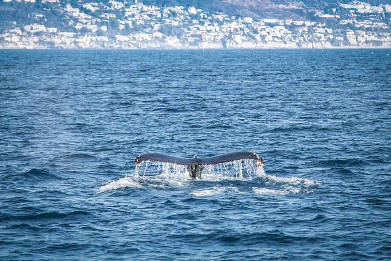 Humpback Whale near Newport Beach