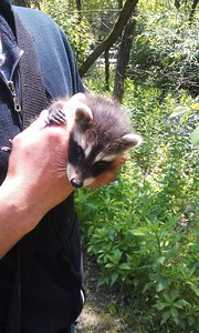 Baby Racoon at Ghost Town Trail