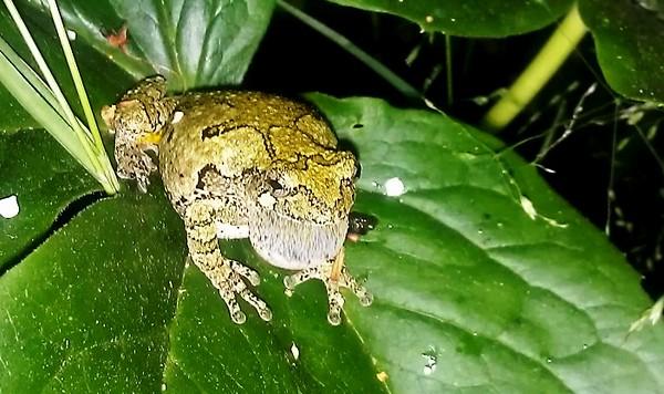 Treefrog Calling