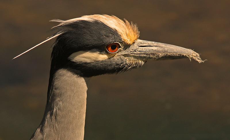 Yellow-crowned Night Heron, Ding Darling Refuge, Sanibel Florida