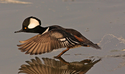 Male Hooded Merganser   (Las Gallinas)
