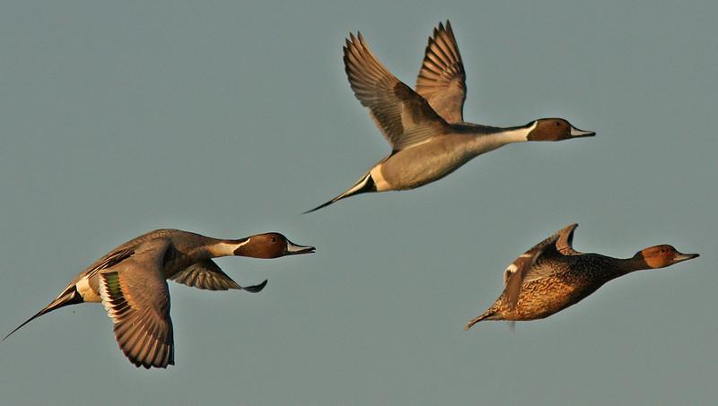 Pintails in Flight Las Gallinas