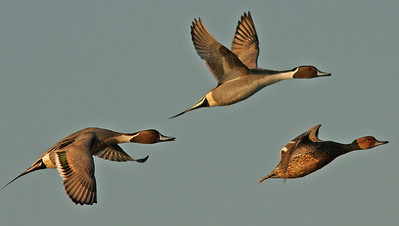 Pintails in Flight Las Gallinas