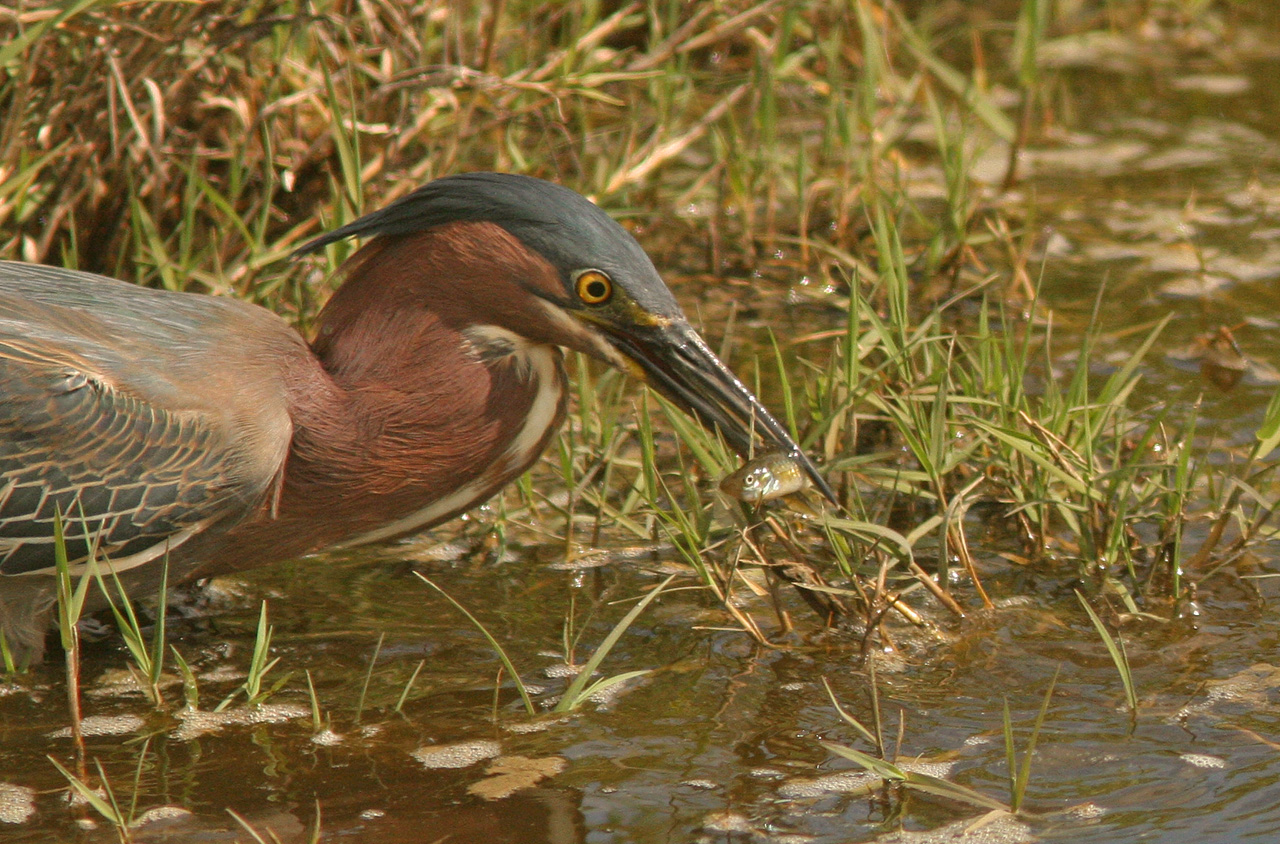 Green Heron with Fish, McGinnis Park