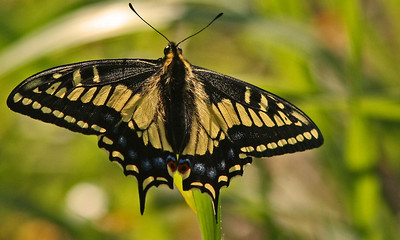 Anise Swallowtail (Las Gallinas)