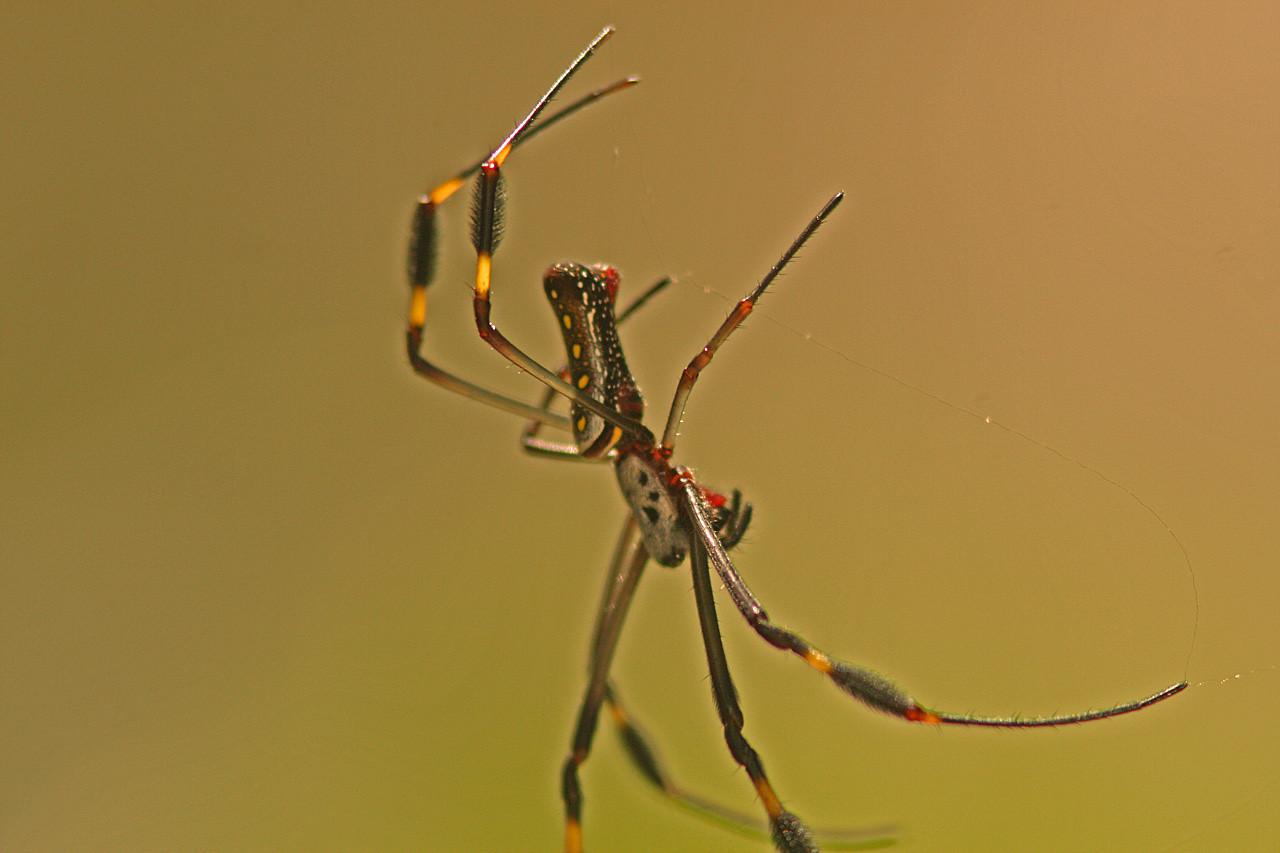 Golden Orb Spider, Osa Peninsula, Costa Rica