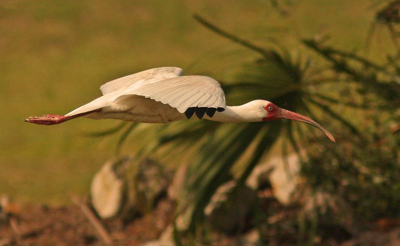 White Ibis, (Rookery, Lady's Island South Carolina)