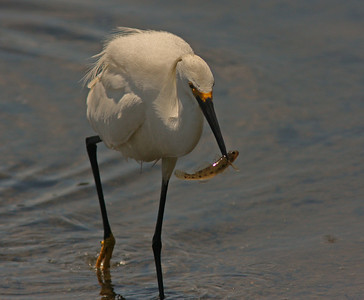 Snowy Egret with fish (Contempo Lagoon)