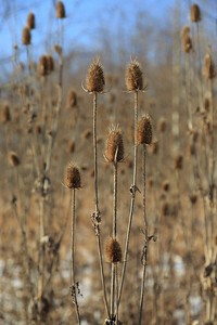 2013_12_25 Winter Thistle 004