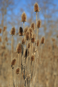 2013_12_25 Winter Thistle 006