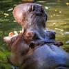 Rrrarrgh! Hippo!