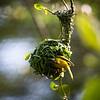 Weaver bird making his nest.