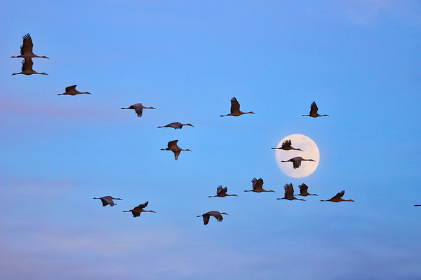 Sandhill Cranes and a Full Moon