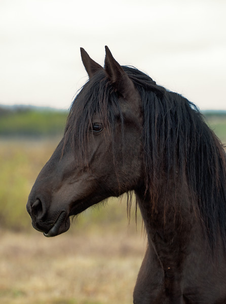 Black Percheron, Manitoba