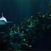 Shark .