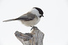 Willow Tit (Poecile montanus)