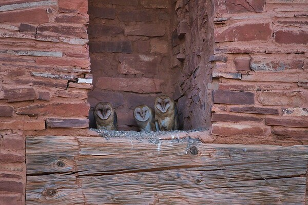 Barn Owl Owlets in Ruins